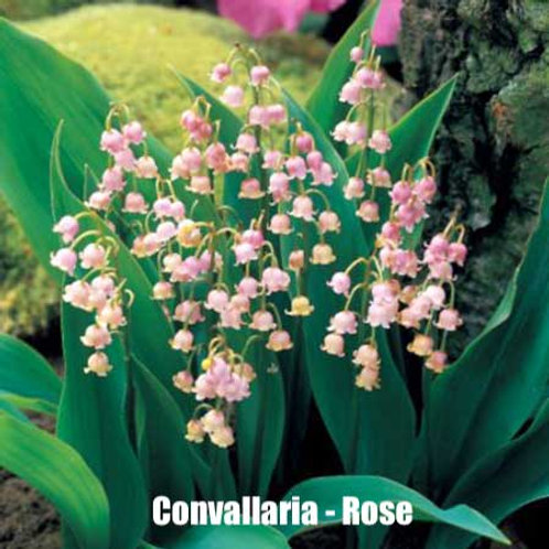 Convallaria (Lily of the Valley) - Rose