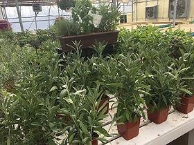 24.herbs_1908.jpg