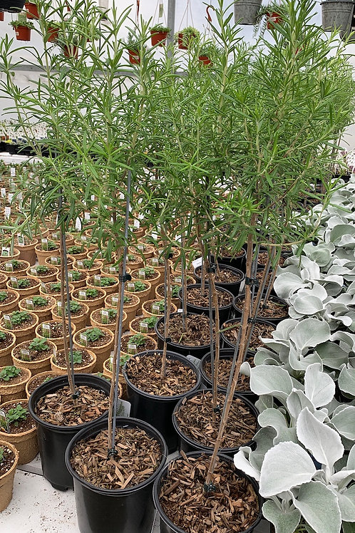Rosemary Topiary - 1-gallon pot