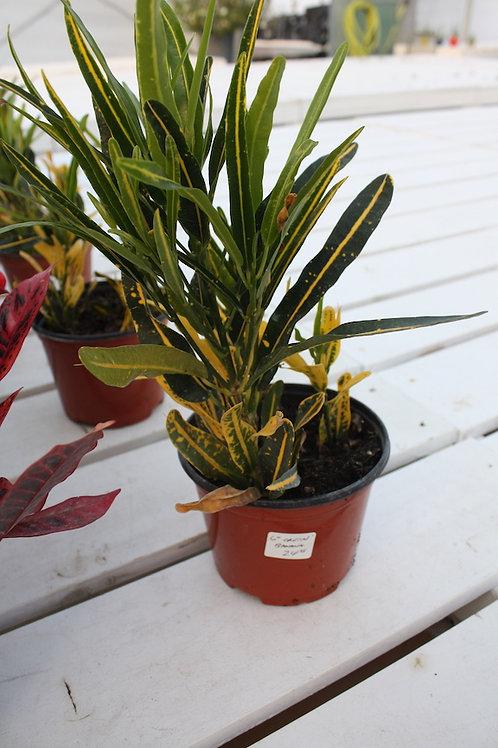 Croton - Banana - 6-inch