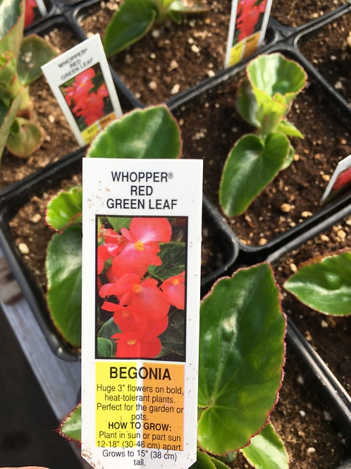 Begonia - 3.5-inch pots