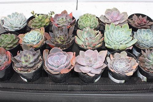 Echeveria - 4-inch pots