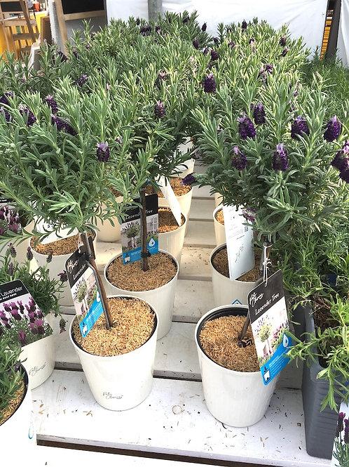 Lavender Tree - Anouk
