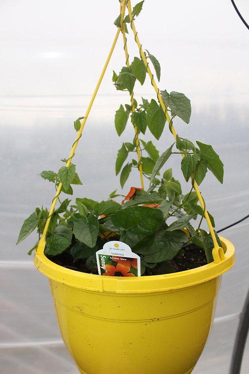 Thunbergia - 10-inch Hanging Baskets