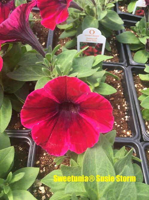 Petunia - Sweetunia® varieties