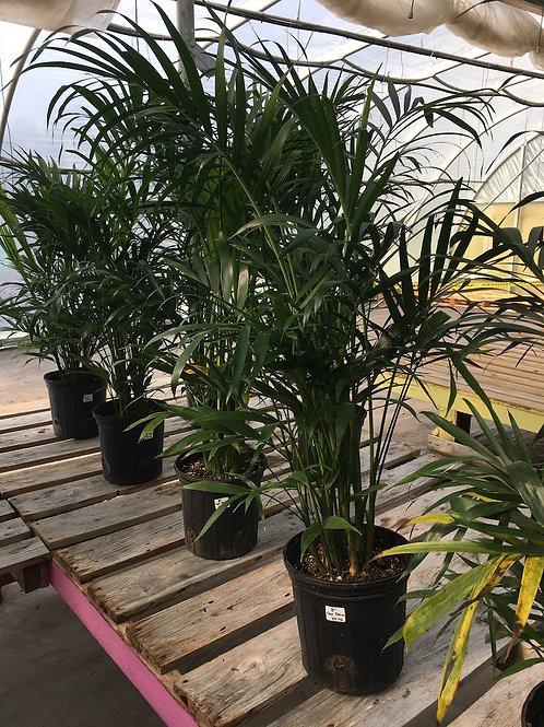Palm Cataractarum - 8-inch