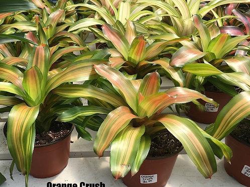 Bromeliad - Colour Foliage