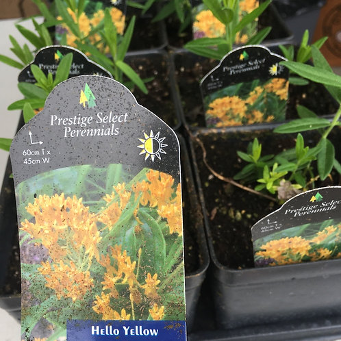 Butterfly Weed - Hello Yellow