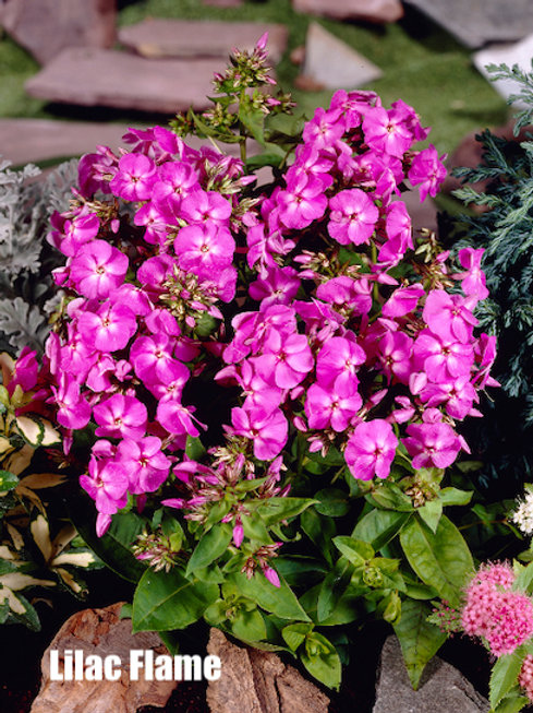Garden Phlox - 1-gallon pot