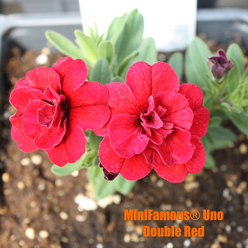 Calibrachoa MiniFamous® varieties