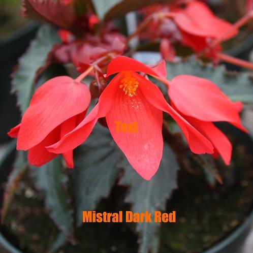 Begonia - Mistral varieties