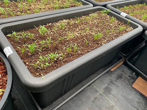 Carrot Planter
