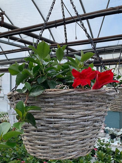 Mandevilla wicker hanging basket