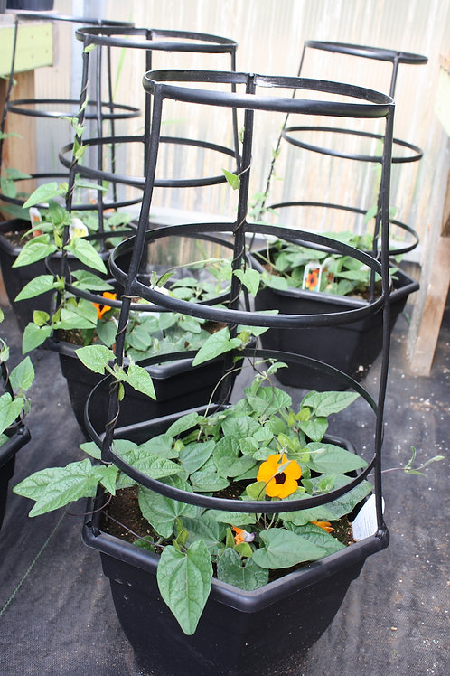 Thunbergia  3-gallon planter with trellis
