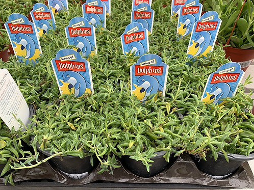 String of Dolphins - 4-inch pots
