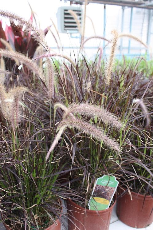 Annual Grasses - 3-gallon pot