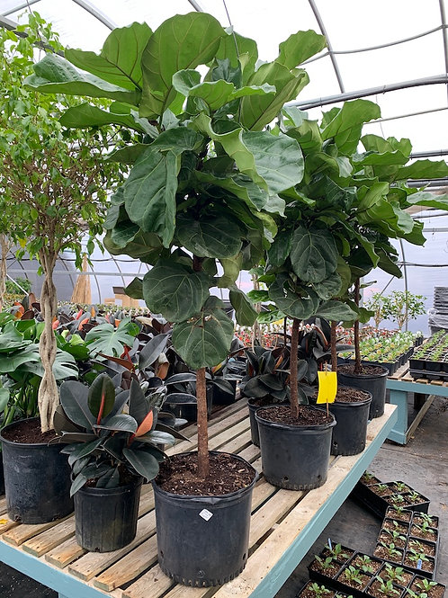 Ficus Lyrata (Fiddle Leaf Fig) - 14-inch