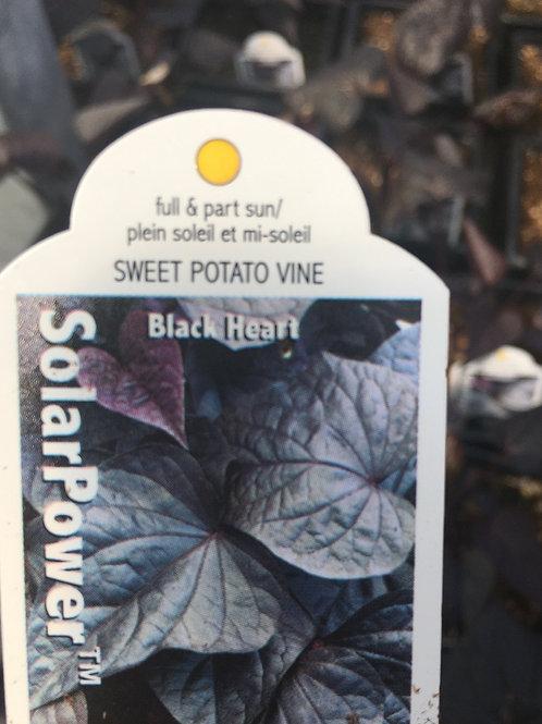 Impomoea (Potato Vine)