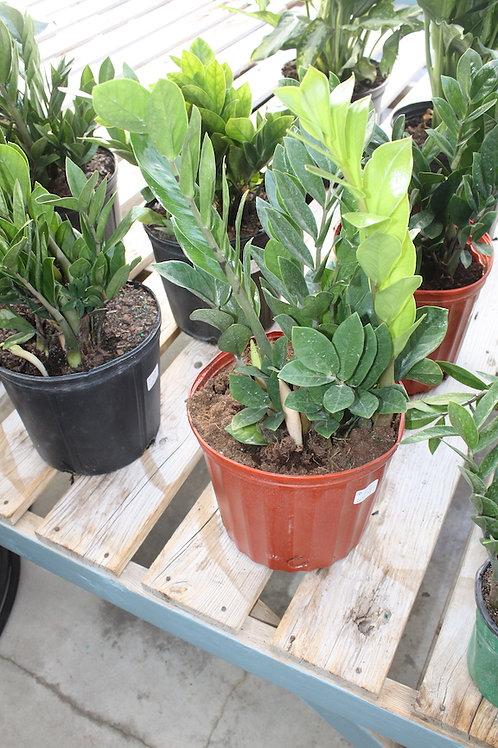 ZZ Plant - 10-inch pot