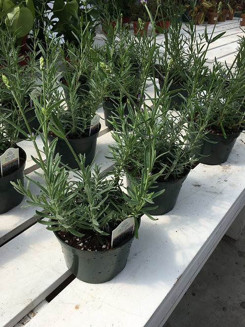 Lavender - 6-inch pot