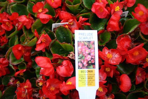 Begonia - 6-pack