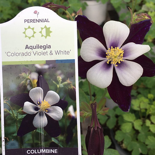 Columbine - 1-gallon pot