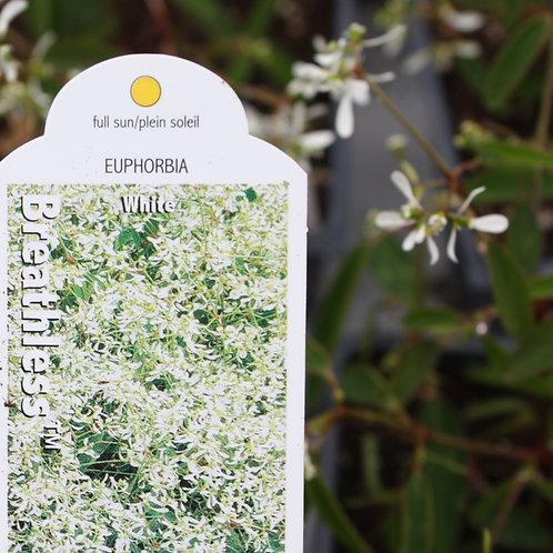 Euphorbia - Breathless™ White