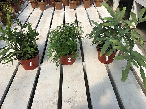 6-inch Ferns