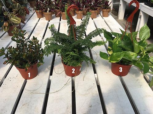 Hanging Basket - 6-inch Tropicals