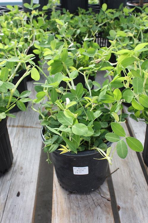 Peanut Plant - 6-inch