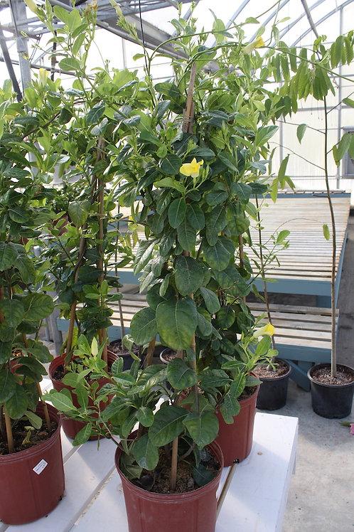 Mandevilla - Yellow on trellis - 10-inch pot