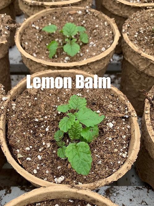 Lemon Balm - 4-inch eco-friendly pot