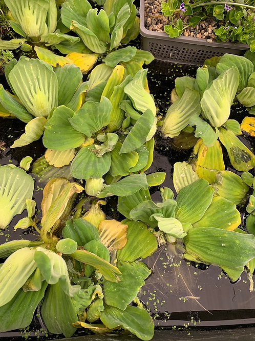 Free-floating Aquatic Plants