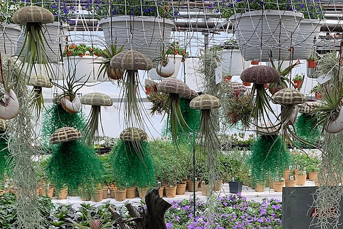 Tillandsia Air Plant in Hanging Sea Urchin Shell