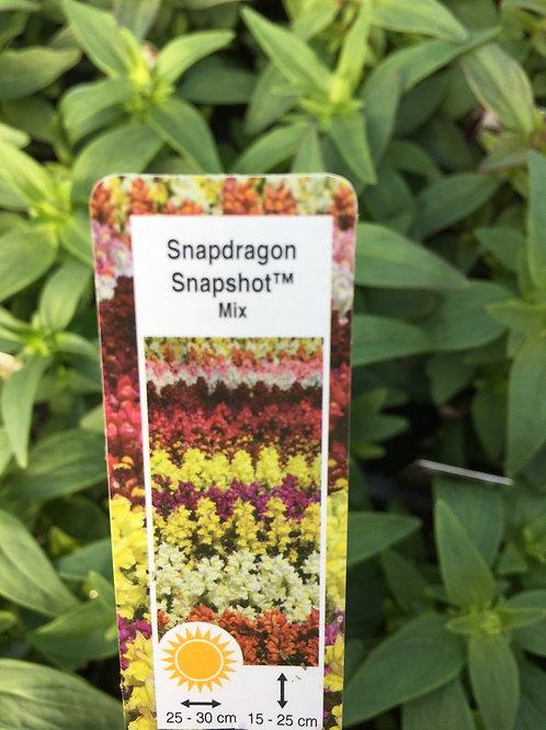 Snapdragons - Snapshot Mix