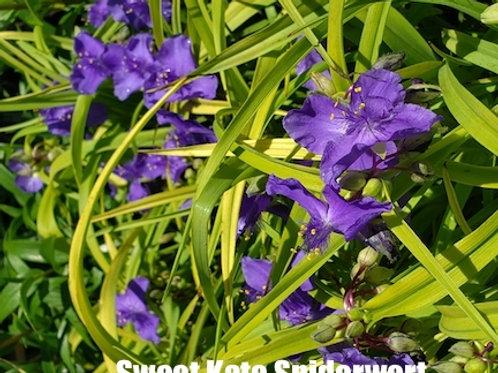 Tradescantia (Spiderwort) - 1-gallon pot