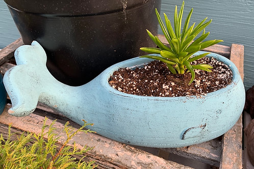 Succulent in a large Whale planter