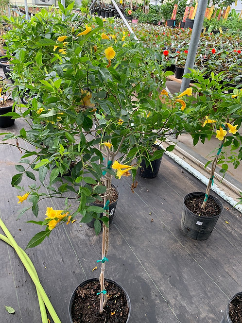 Flowering Tecoma