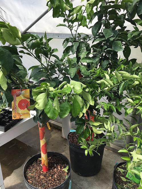 Ray Ruby Grapefruit Tree