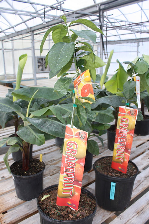 Grapefruit Tree - 10-inch pot