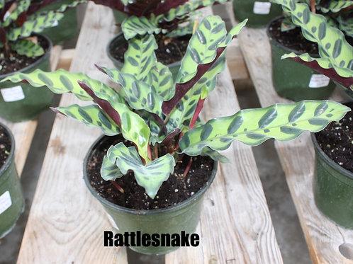 Calathea - 6-inch