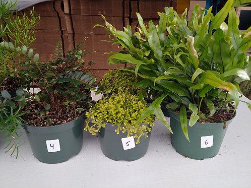 6-inch Ferns 4-6