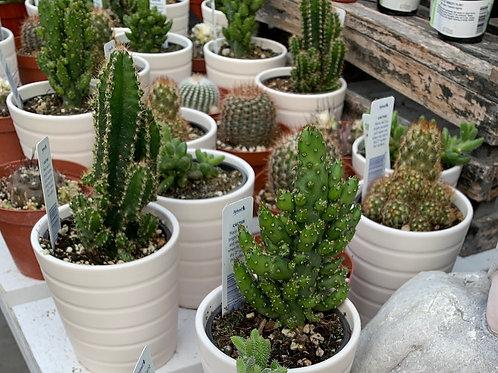 Cacti in 4-inch ceramic pot