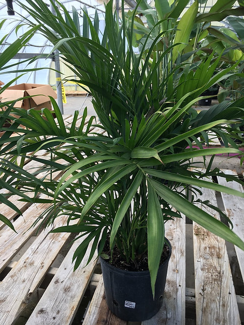 Palm Cataractarum - 10-inch