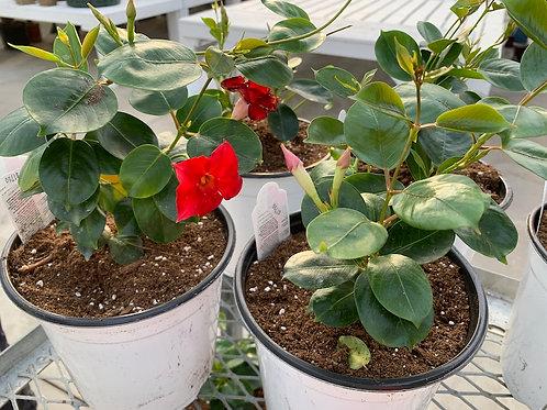 Mandevilla - 1-gallon pots