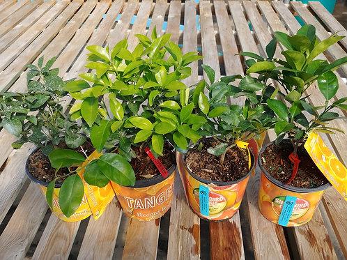 Cirtus Plants - 1 gal.