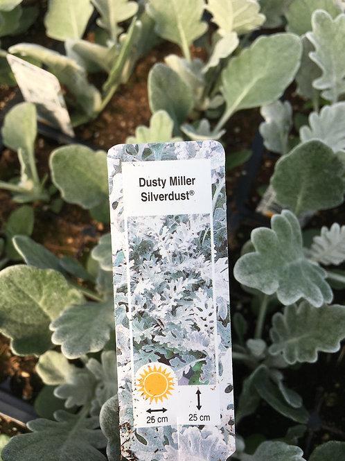 Dusty Miller - Silver Dust