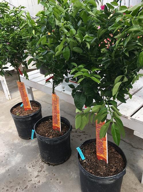 Murcott Tangerine Tree