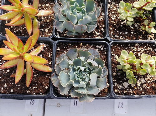 Succulents 10-12