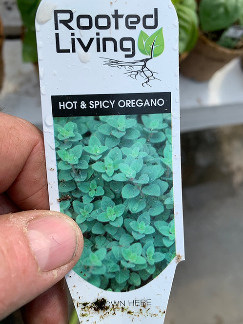 Hot and Spicy Oregano - 4-inch pot
